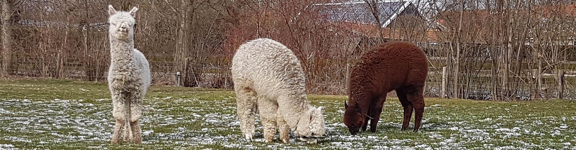 alpacas in zeeland