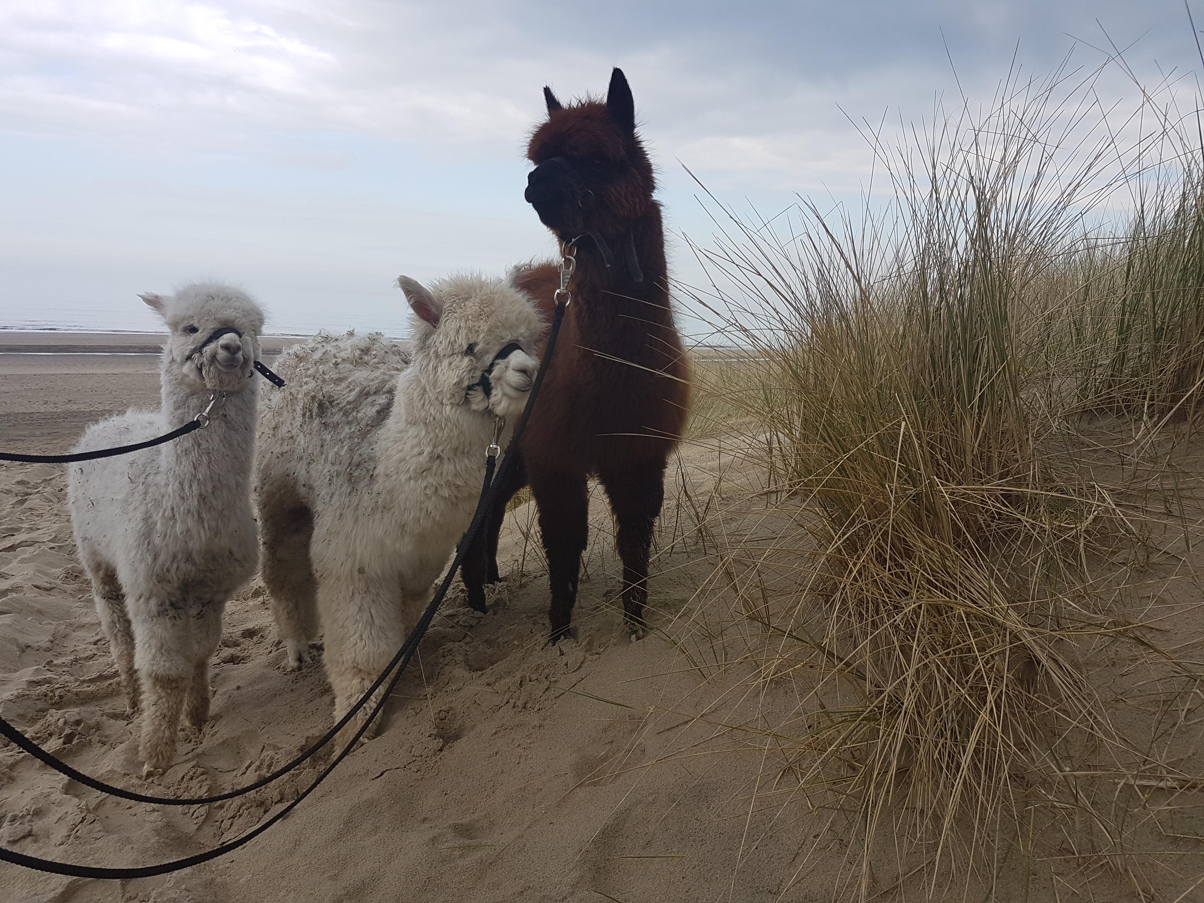 Alpacas Strandwandeling maandag 1 juni 2020