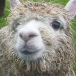 Privé Alpaca zaterdag 13 april