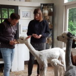 Alpacas High Tea op zaterdag 8 augustus 2020