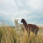 AFGELAST Alpacas Strandwandeling zaterdag 30 mei 2020