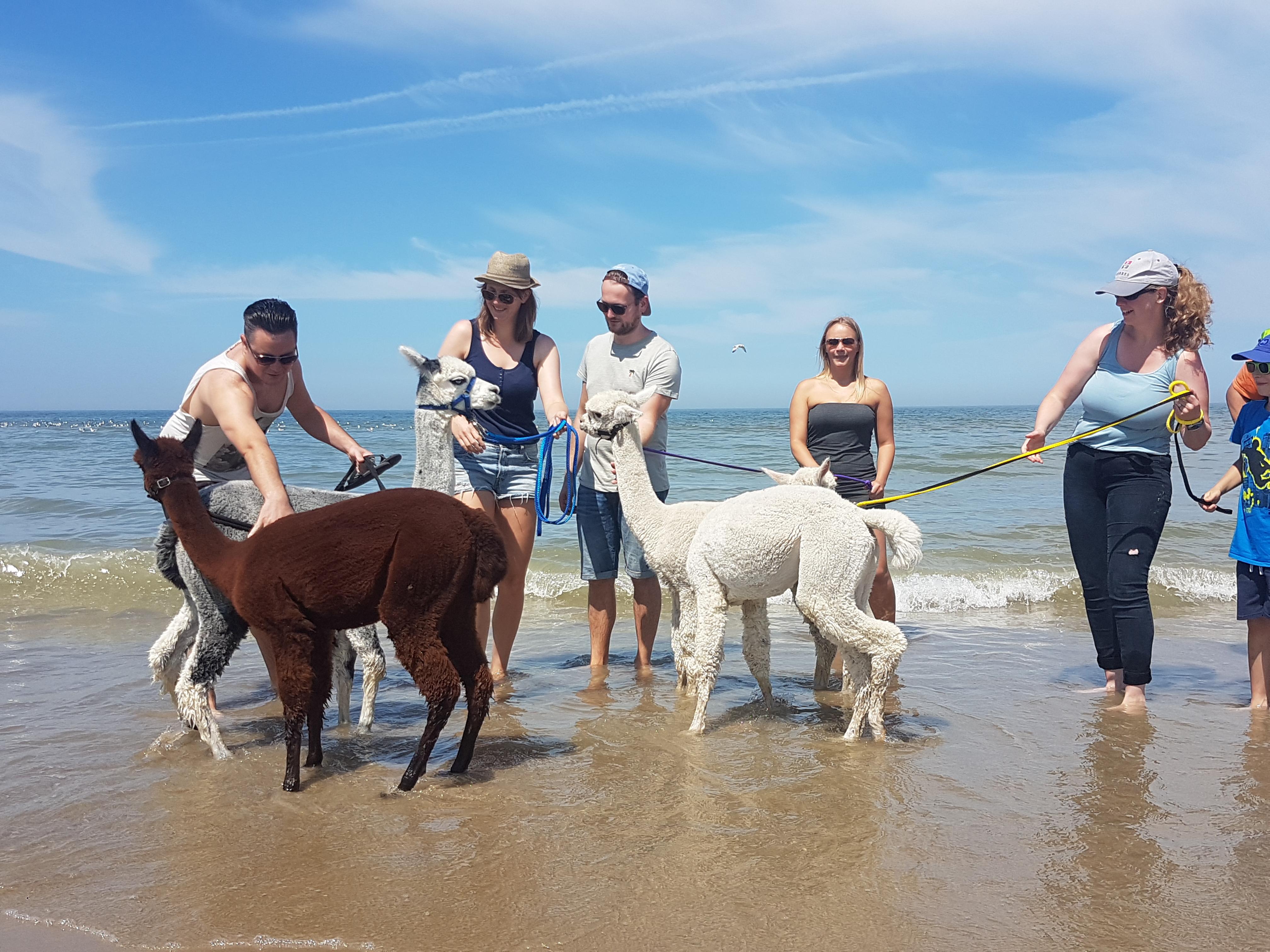 Stappen en Happen met Alpaca's: Strand zondag 27juni 2021