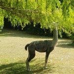 Alpaca picknick zaterdag 8-6