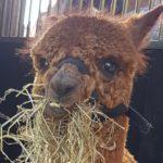 Alpaca's Zeeland te gast bij Zorgstroom Nieuw-Sandenburgh