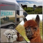 Alpacas te gast bij Sherpa, Baarn, donderdag 26 september