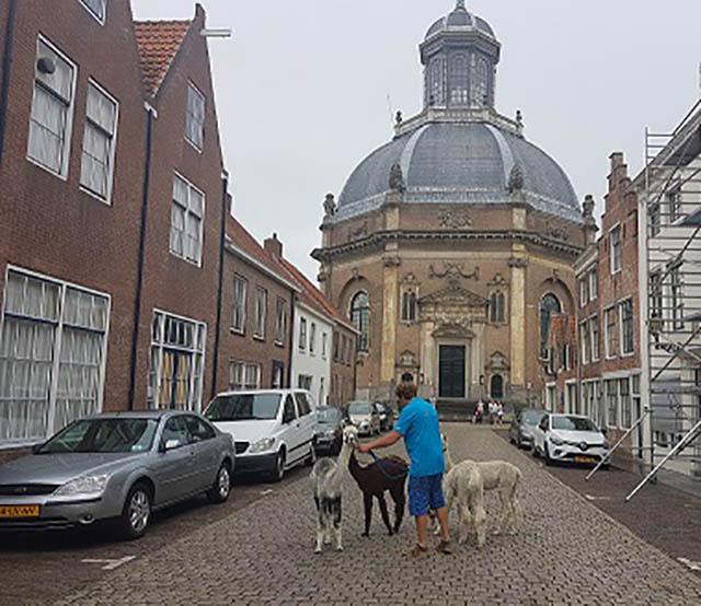 stadswandeling middelburg alpacas