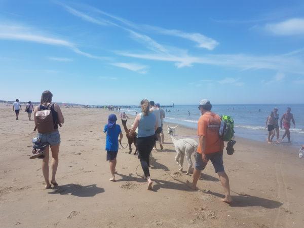 strandwandeling met alpacas